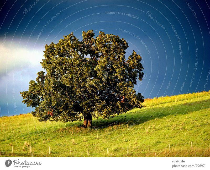 Mein Freund der Baum... Wiese Allgäu Sonnenuntergang grün schwarz dunkel Blatt Zaun Berghang Wolken Rieden Weide Einsamkeit ruhig Romantik Laubbaum Sommer