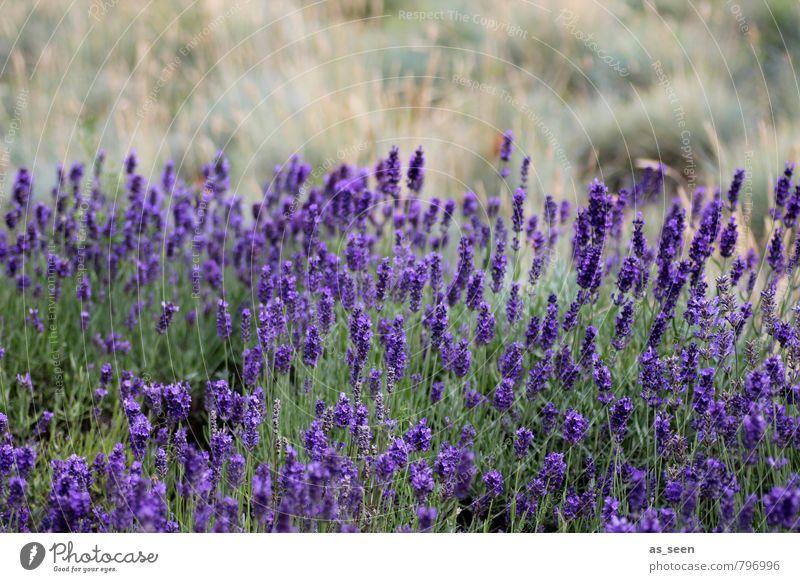 Lavendelfeld II Kräuter & Gewürze Öl Bioprodukte schön Wellness Meditation Duft Natur Landschaft Pflanze Sommer Blühend Wachstum ästhetisch natürlich braun gelb