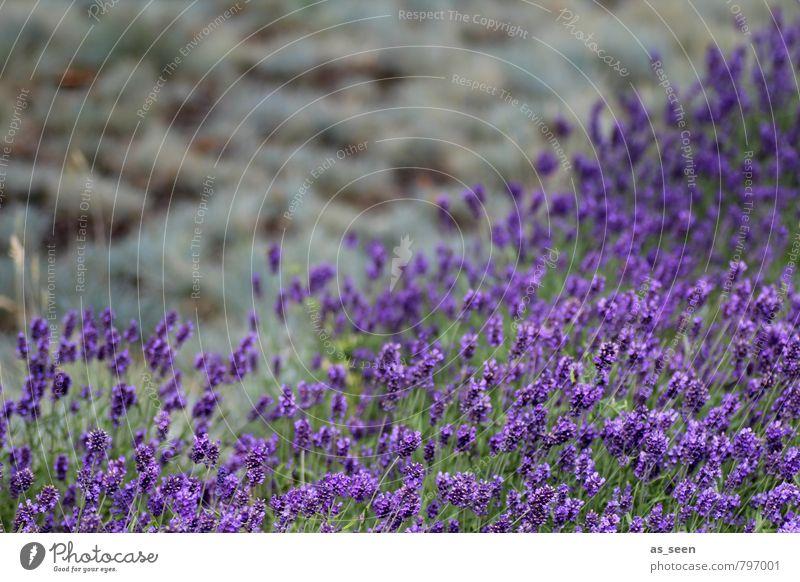 Lavendelfeld III Kräuter & Gewürze Öl Bioprodukte schön Gesundheit Wellness harmonisch Meditation Duft Ferien & Urlaub & Reisen Umwelt Natur Pflanze Erde Sommer