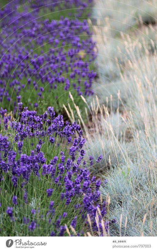Lavendelfeld Kräuter & Gewürze Öl Bioprodukte Wellness Tourismus Sommer Sommerurlaub Umwelt Natur Landschaft Pflanze Blüte Feld Blühend Wachstum ästhetisch