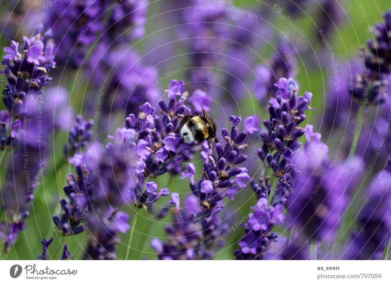 Im Lavendel Kräuter & Gewürze Bioprodukte Natur Sommer Blume Blüte Garten Tier Hummel Insekt 1 berühren Blühend fliegen leuchten Wachstum Duft natürlich grün