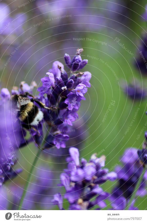 In der Lavendelblüte Natur Ferien & Urlaub & Reisen grün Farbe Sommer Erholung Blume Landschaft Tier Blüte natürlich Gesundheit Wachstum frei ästhetisch