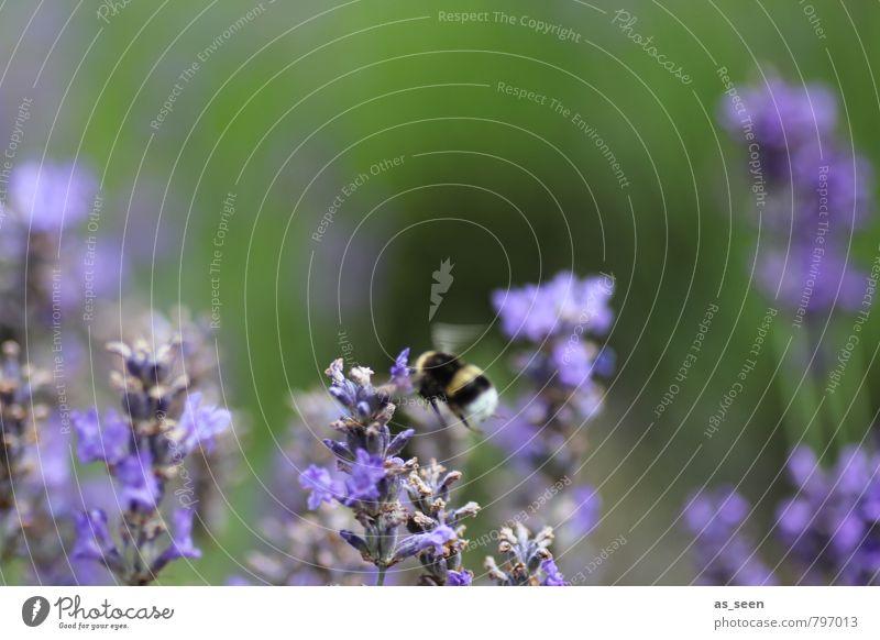 Lecker Lavendel Natur grün Farbe Tier Wärme natürlich Gesundheit Garten fliegen Idylle Blühend Wellness violett rein Kräuter & Gewürze Duft