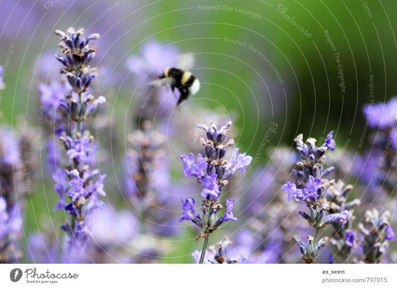 Blüten Hopping Kräuter & Gewürze Bioprodukte Gesundheit Leben Duft Ferien & Urlaub & Reisen Freiheit Sommer Umwelt Natur Pflanze Blume Garten Feld Biene Hummel