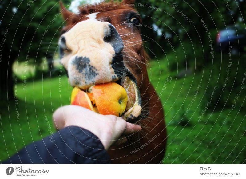 Pferdeapfel Natur Sommer Tier Nutztier Tiergesicht 1 Kontakt Dienstleistungsgewerbe füttern Fressen Farbfoto Außenaufnahme Menschenleer Tag Tierporträt Blick