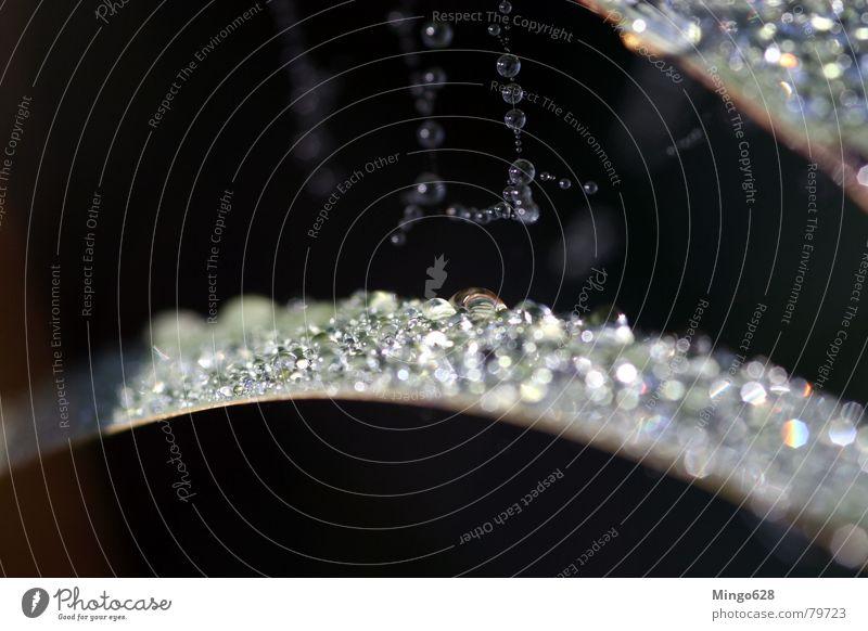 Schilf mit Morgentau Blatt Wassertropfen Seil Schilfrohr Spinnennetz Prisma