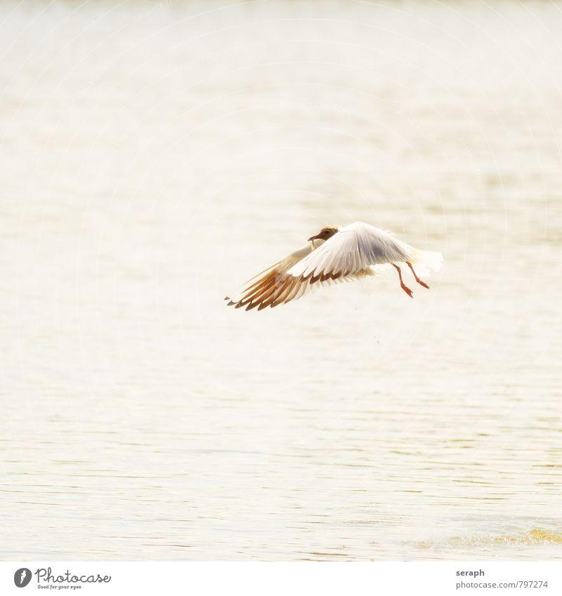 Lachmöwe maritim fishing Möwe Vogel Segelfliegen Tier Wellen Meer Küste fowl Flügel Feder Jagd Entenvögel Natur wild Etage Schnabel Ornithologie Wildnis Schwung