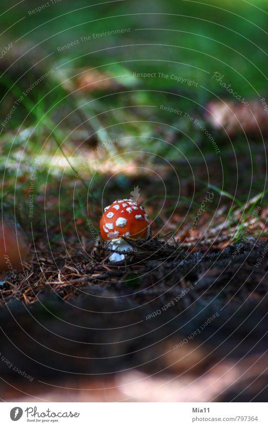 Zwerg Natur Pflanze Wald Pilz Fliegenpilz Gift stehen Waldboden Punkt Farbfoto Außenaufnahme Nahaufnahme Menschenleer Textfreiraum oben Textfreiraum unten Tag