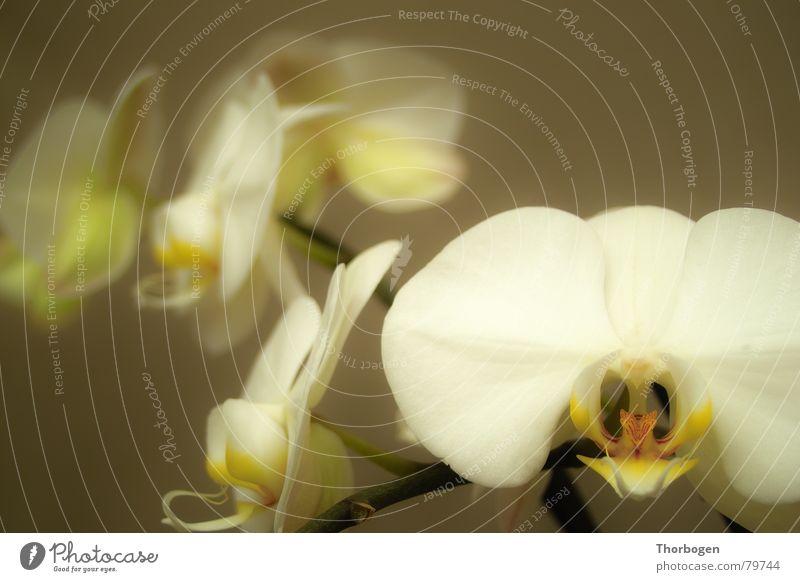Orchidee 2 Blüte Blume Pflanze Blumenhändler Botanik blütenstembel Natur Stempel