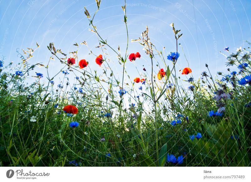 Lichtung Ausflug Sommer Sommerurlaub Umwelt Natur Landschaft Pflanze Himmel Schönes Wetter Gras Blüte Wildpflanze Mohn Mohnfeld Kornblume Mohnblüte Wiese Feld