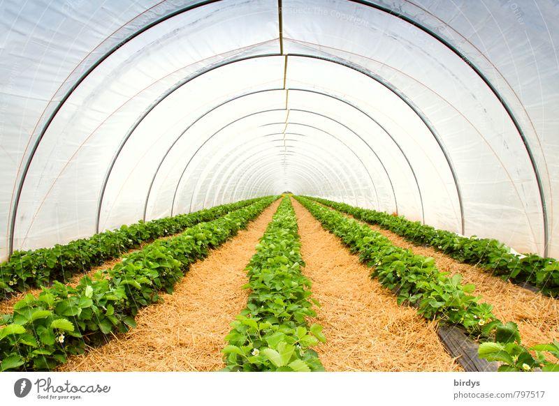 Erdbeertunnel Landwirtschaft Forstwirtschaft Frühling Sommer Pflanze Nutzpflanze Erdbeeren Gewächshaus Wachstum ästhetisch lang gelb grün weiß Perspektive ruhig