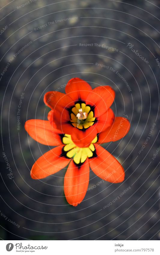 Doppeldecker Natur Pflanze Erde Frühling Sommer Blume Blüte Freesie Garten Park Blühend natürlich schön braun orange rot Wachstum Wandel & Veränderung