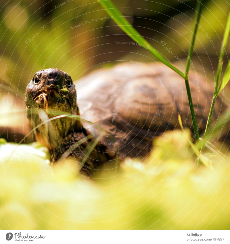 das orakel Tier 1 Fressen Schildkröte Landschildkröte alt Erfahrung Lebensalter Reptil Hals Hautfalten Panzer Salat grün Farbfoto Außenaufnahme Licht Schatten