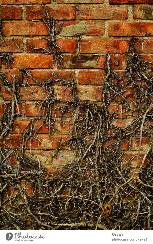 Efeu Fassadenbegrünung Binderstein Läuferstein im Mauerwerk Wand Backstein Fuge Raster Strukturen & Formen Ranke Kletterpflanzen Winter verfallen Angst Panik