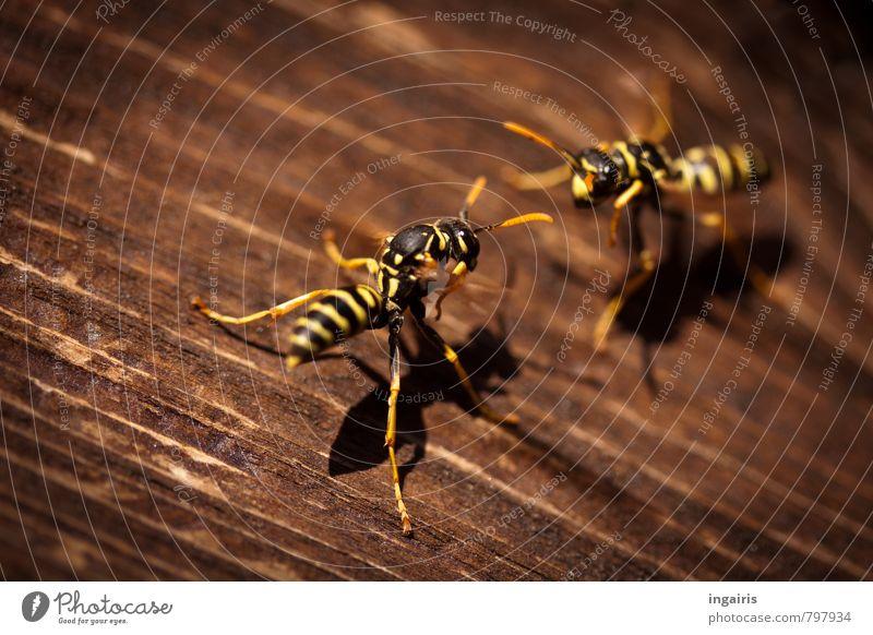 Thermodynamik Natur Sommer Klima Wetter Wärme Holzbrett Holzwand Tier Wespen Feldwespe Insekt Bewegung hocken Zusammensein heiß klein braun gelb schwarz Leben