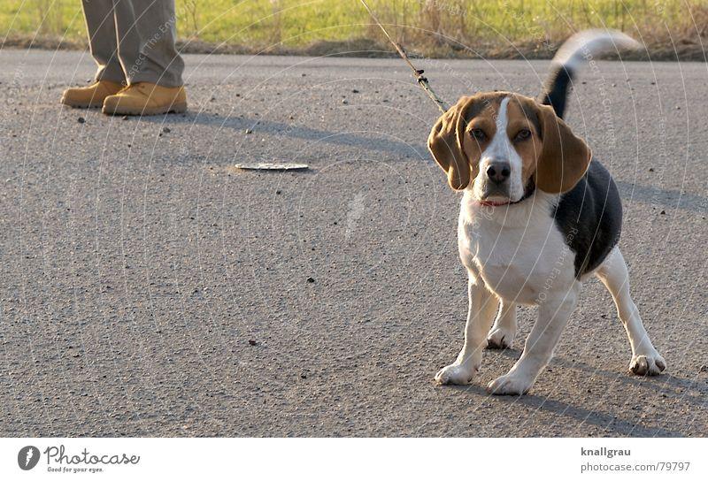 An der Leine Beagle Hängeohr Spaziergang bodenständig beachten Kontrolle schaulustig offen Freiheit Hund klein Schuhe Neugier Haustier entdecken fixieren gehen