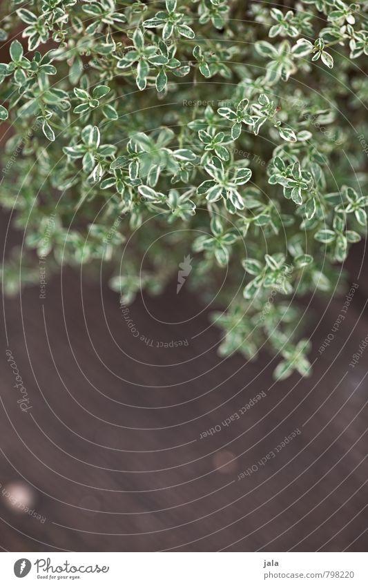 thymian Kräuter & Gewürze Gesunde Ernährung Pflanze Nutzpflanze Thymian frisch Gesundheit natürlich Farbfoto Außenaufnahme Menschenleer Textfreiraum unten