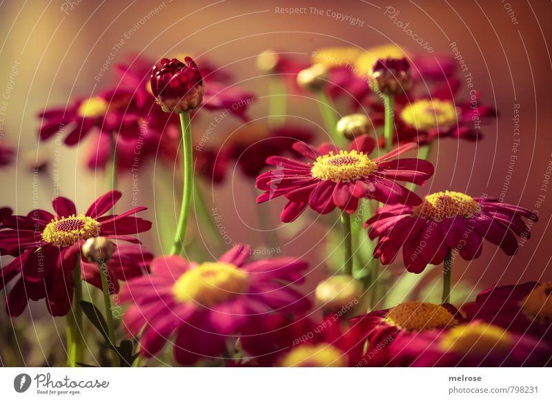 aufstrebend Sommer Pflanze Blume Blüte Topfpflanze Margerite Blühend schön gelb grün rosa Glück Fröhlichkeit Zufriedenheit Farbfoto Gedeckte Farben