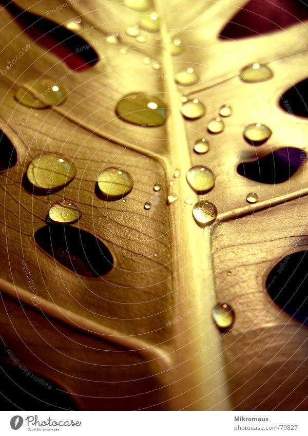 Das goldene Blatt Blattadern Gefäße Wassertropfen Tropfen Tränen Regen Trinkwasser Tau feucht nass Pflanze Farbe Trauer Beleuchtung Licht Schatten Herbst