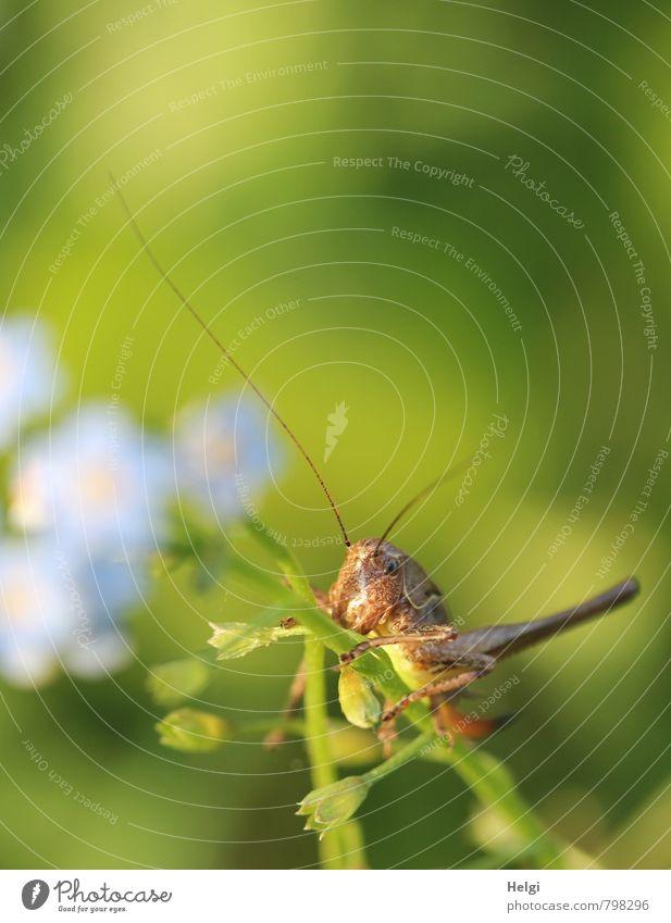 kleiner Hüpfer Umwelt Natur Pflanze Tier Sommer Blüte Vergißmeinnicht Wiese Wildtier Fühler Heuschrecke 1 Blühend festhalten Blick sitzen ästhetisch schön