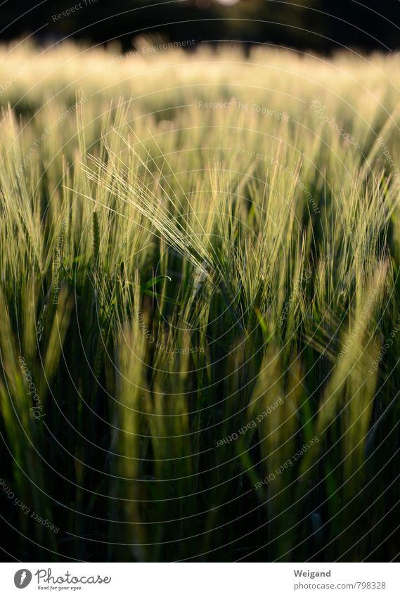 Schnurrbarthaare Umwelt Natur Landschaft Pflanze Sommer Grünpflanze Nutzpflanze Feld dehydrieren Wachstum frisch saftig grün Tapferkeit Optimismus Reinheit