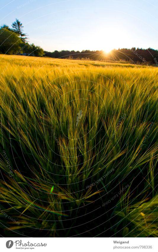 Ein Feld im Kornbett Umwelt Natur Landschaft Pflanze Himmel Sonne Sonnenaufgang Sonnenuntergang Sommer Schönes Wetter Nutzpflanze Wachstum frisch Unendlichkeit