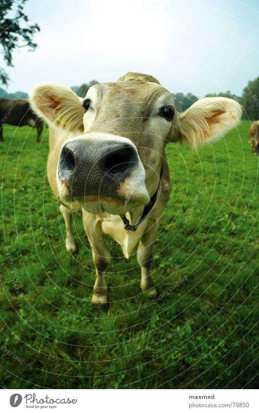 Hallo grün Auge glänzend hoch groß Freundlichkeit Neugier Alpen Weide Ohr Schweiz Kuh Treue Begrüßung sparsam Tier