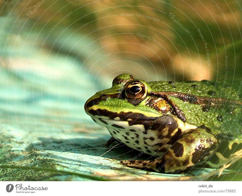 Bin ein schwuler Prinz, los küss mich! hüpfen Teich Am Rand Gras grün Froschkönig Märchen dick Quaken springen Grasfrosch Wasserfrosch Homosexualität Küssen