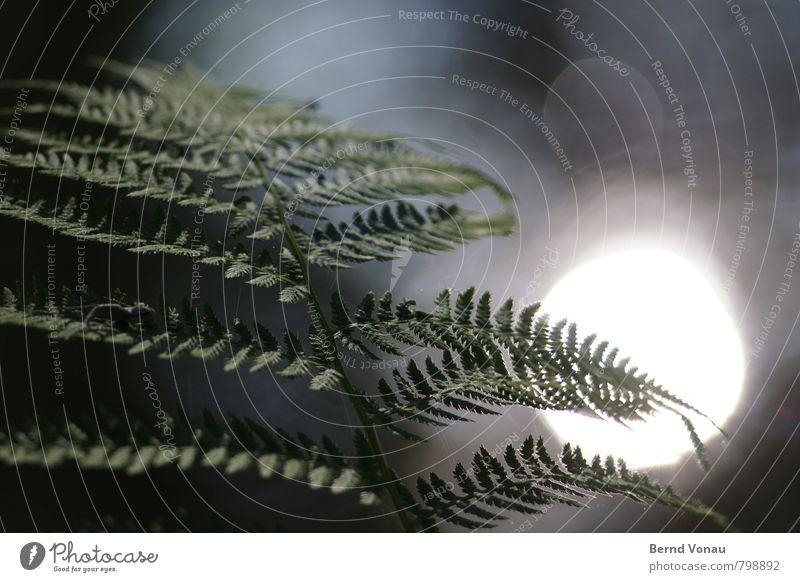 Steffarn sonnt sich Natur blau Pflanze schön grün weiß Wald Umwelt grau Kreis Schönes Wetter Bach Wasseroberfläche blenden Farn Wasserspiegelung