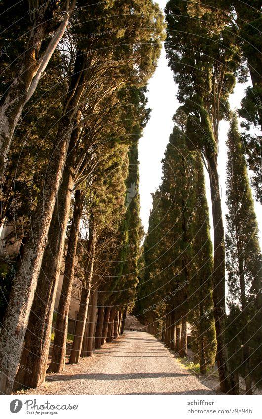 Durch diese hohle Gasse... Landschaft Schönes Wetter Pflanze Baum dunkel Zypresse Pinie Allee Straße Wege & Pfade Baumstamm Sitzreihe Reihe Reihenfolge