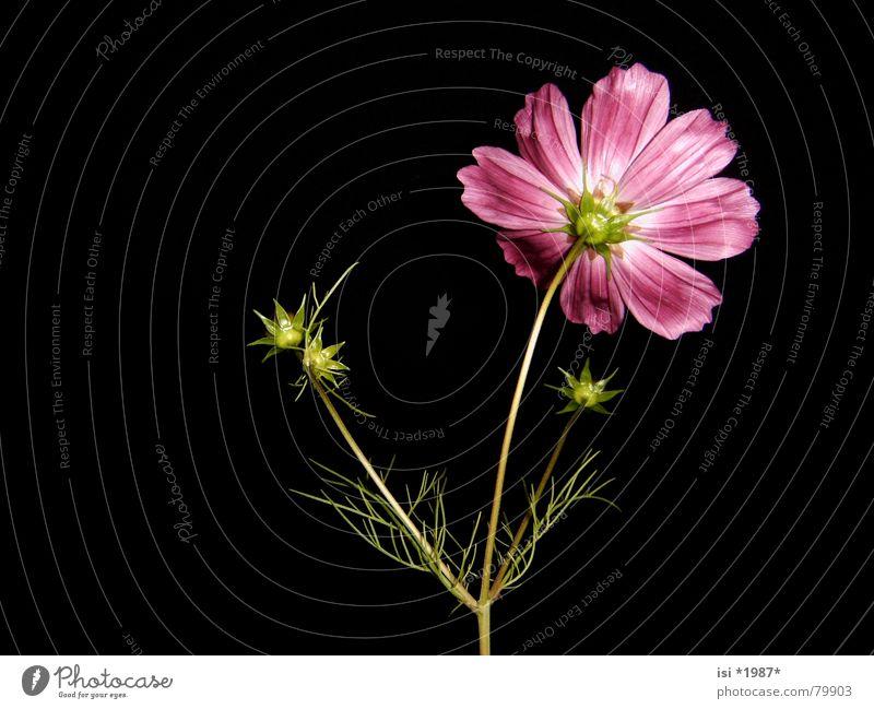 TurnAway schön Blume Pflanze Sommer Blüte rosa elegant Stern (Symbol) violett zart Stengel Botanik sanft edel Blütenknospen zierlich