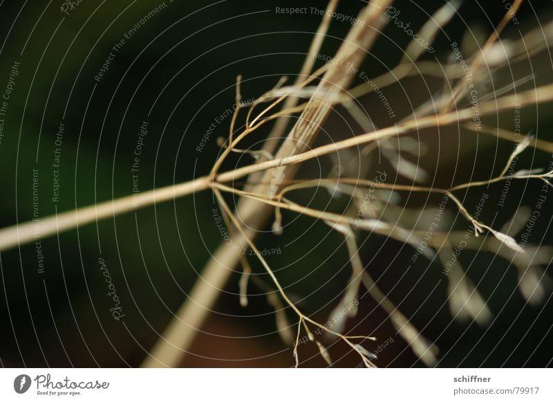 Halm im Wind Tod Gras Unschärfe Winter trocken dünn Wiese Grasland diagonal Neigung Makroaufnahme verrückt