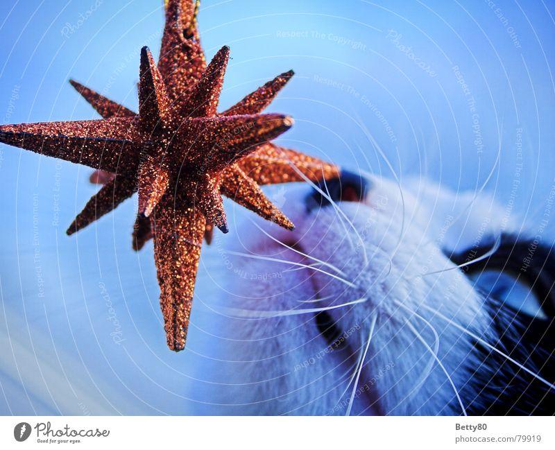 Fin's Stern 2 Weihnachten & Advent blau Katze orange glänzend Stern (Symbol) Dekoration & Verzierung Neugier Geruch Säugetier Hauskatze Weihnachtsstern Schnurrhaar Weihnachtsdekoration