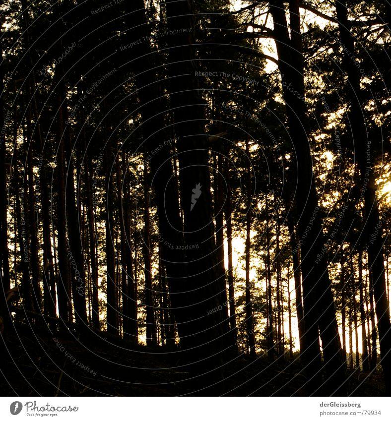 Duchsichtigkeit des Dichten Licht dunkel lang dünn grell geschlossen schwarz gelb Wald Baum Nadelbaum durchsichtig Hoffnung Wunsch Lichteinfall gerade Klarheit