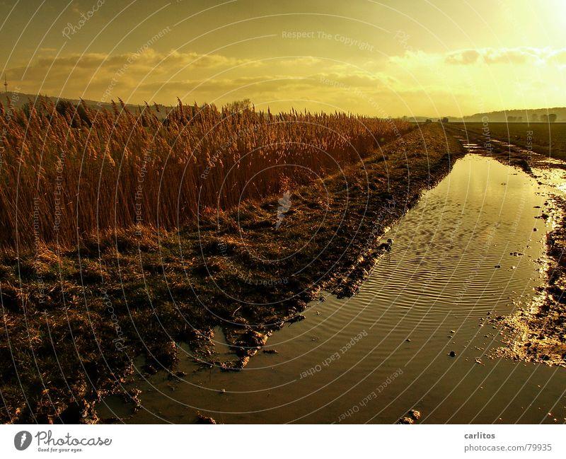 Goldene Zeiten II Sonnenuntergang Weißabgleich Gegenlicht Pfütze Schilfrohr Erholung Winter ruhig Wiese Umwelt Herbst Weide Licht Gras Reflexion & Spiegelung