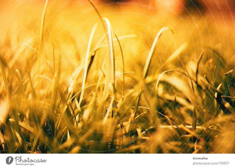 green green grass of home grün Sonne Sommer Freude gelb Erholung Leben Wiese Herbst Gras Wind Frieden Sportrasen genießen Sonnenbad Grasland