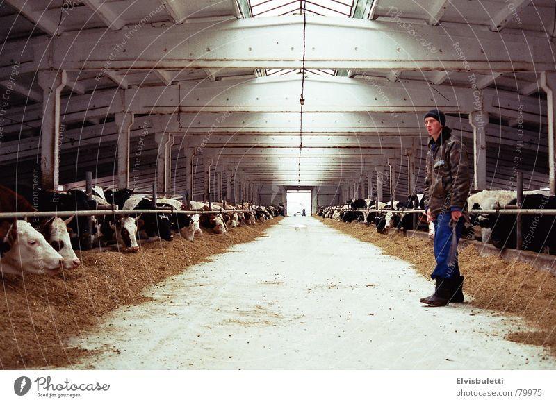 Es war ein Mal in einem ukrainischen Bullenmaststall. Bauernhof Landwirtschaft Landwirt Bulle Stall Rind Fluchtpunkt Ranch Ukraine Kuhstall Pflanzer