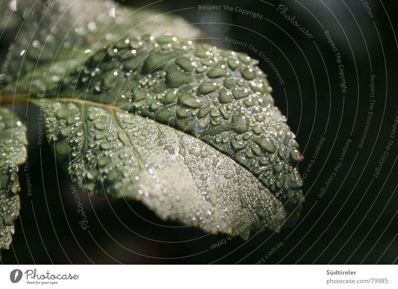 Regentropfen auf Blatt Blattadern Apfelbaum nass feucht Wassertropfen