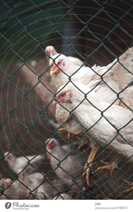 hühner Tier natürlich Tiergruppe Zaun Hütte Nutztier Haushuhn Stall Hühnervögel Maschendrahtzaun