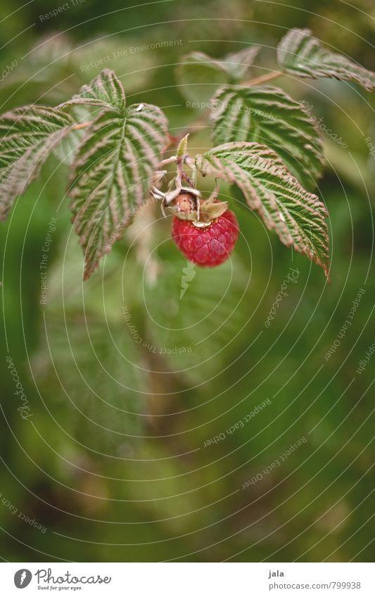 himbeere Umwelt Natur Pflanze Blüte Nutzpflanze Frucht Himbeeren Garten frisch Gesundheit lecker natürlich Farbfoto Außenaufnahme Menschenleer