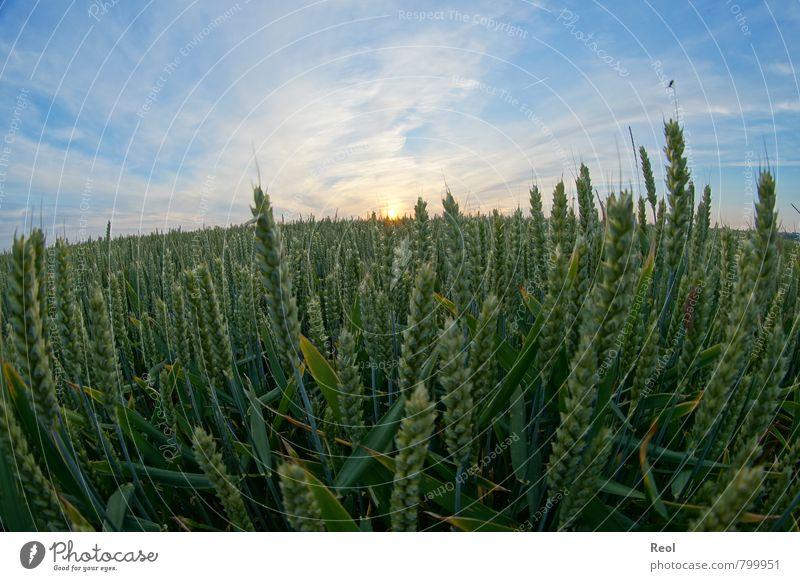 Weizenfeld Lebensmittel Futter Bauernhof Landwirtschaft Ernte Natur Erde Sonne Sonnenaufgang Sonnenuntergang Sonnenlicht Sommer Schönes Wetter Pflanze Gras