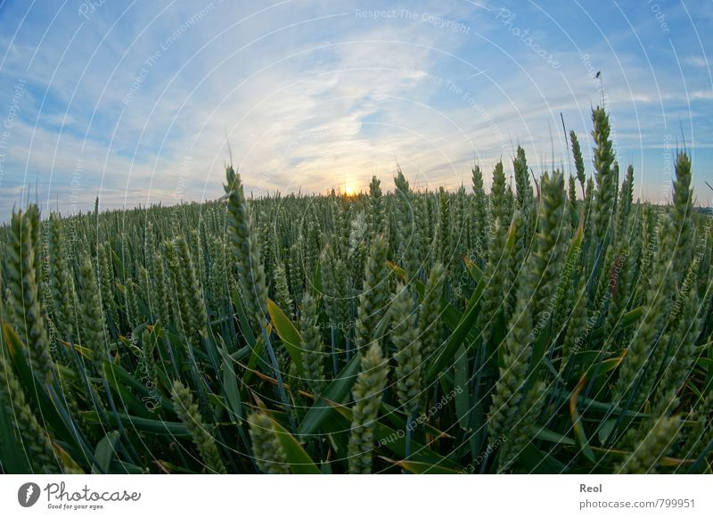 Weizenfeld Natur blau Pflanze grün Sommer Sonne Gras Lebensmittel Erde orange Feld Schönes Wetter rund Landwirtschaft Getreide