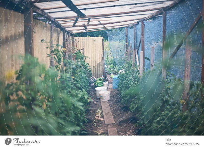 tomaten Gesunde Ernährung Gartenhaus Gartenarbeit Natur Pflanze Grünpflanze Nutzpflanze Tomate Tomatenplantage ästhetisch gut natürlich Tomatenhaus Gewächshaus