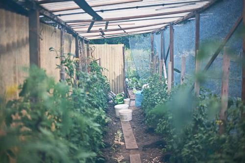 tomaten Natur Pflanze Gesunde Ernährung natürlich Garten ästhetisch gut Hütte Gartenarbeit Tomate Grünpflanze Nutzpflanze Gewächshaus Gartenhaus Tomatenplantage