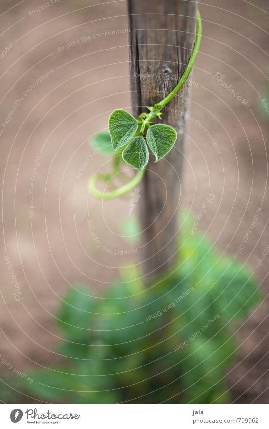 bohnengewächse Umwelt Natur Pflanze Grünpflanze Nutzpflanze Bohnengewächse Garten Feld Gesundheit natürlich Wachstum Farbfoto Außenaufnahme Menschenleer