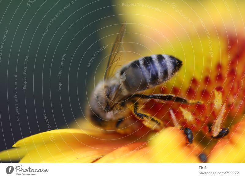 Biene Natur Pflanze Frühling Sommer Blüte 1 Tier Blühend Duft ästhetisch authentisch einfach elegant natürlich gelb grün orange Fröhlichkeit Zufriedenheit