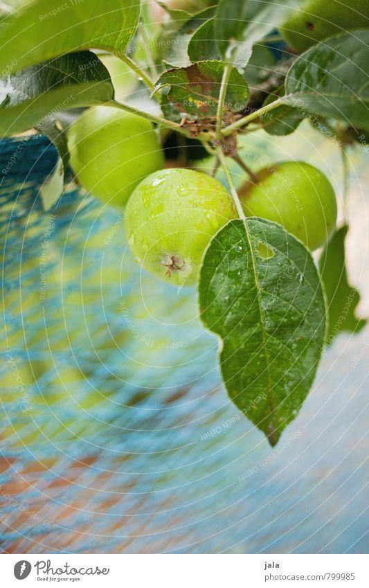 äpfel Gesunde Ernährung Natur Pflanze Sommer Baum Grünpflanze Nutzpflanze Apfelbaum Garten ästhetisch frisch Gesundheit lecker natürlich Farbfoto Außenaufnahme