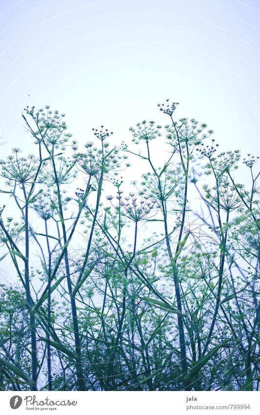 dill Umwelt Natur Pflanze Himmel Nutzpflanze Dill Dillblüten ästhetisch groß natürlich Farbfoto Außenaufnahme Menschenleer Textfreiraum oben