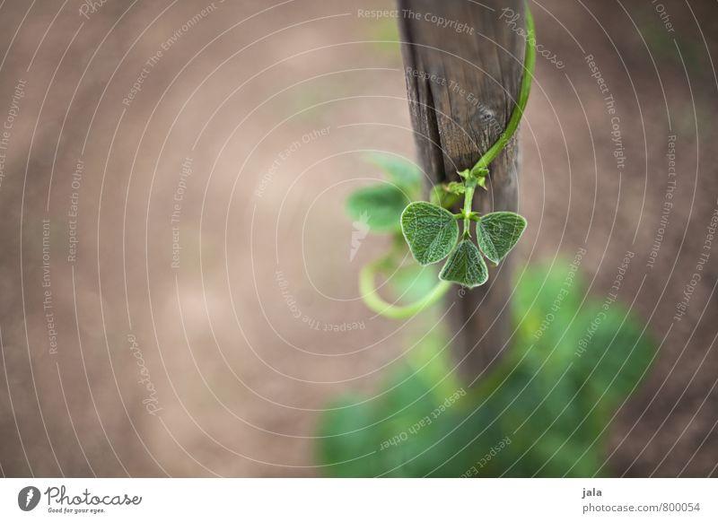 bohnen Natur Pflanze Erde Blatt Grünpflanze Nutzpflanze Bohnen Bohnenkeime Garten ästhetisch natürlich Wachstum Holzstab Farbfoto Außenaufnahme Menschenleer Tag
