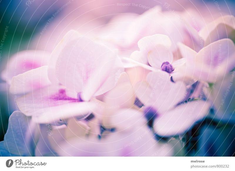 verträumt Natur Pflanze Sonnenlicht Sommer Blume Blüte Topfpflanze Hortensie Hortensienblüte Hortensienblätter Blühend genießen träumen blau gold violett weiß